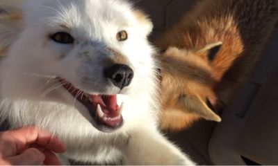 compra-perro-spitz-le-dan-zorro-salvaje