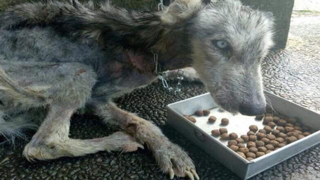 Husky rescatada desnutrida esqueleto meses después luce irreconocible