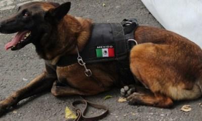 Perritos Mexicanos enviados ayudar gente en Guatemala