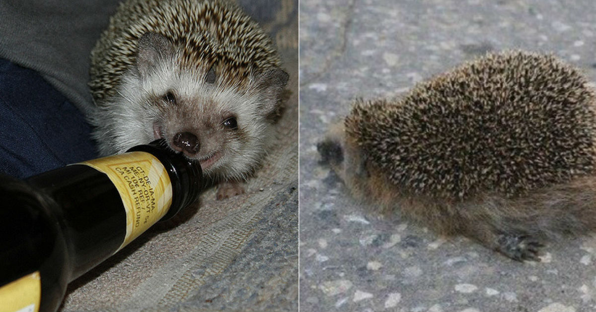 erizos-emborrachan-botella-rompope-viral-gracioso-twitter