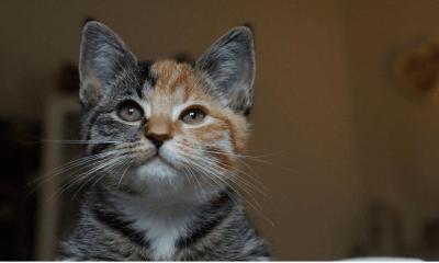 Little Maci El nuevo gatito de dos caras Minino