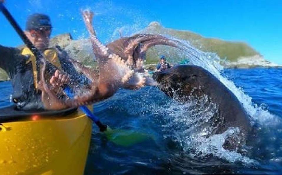 León marino le escupe UN PULPO en la cara a un turista