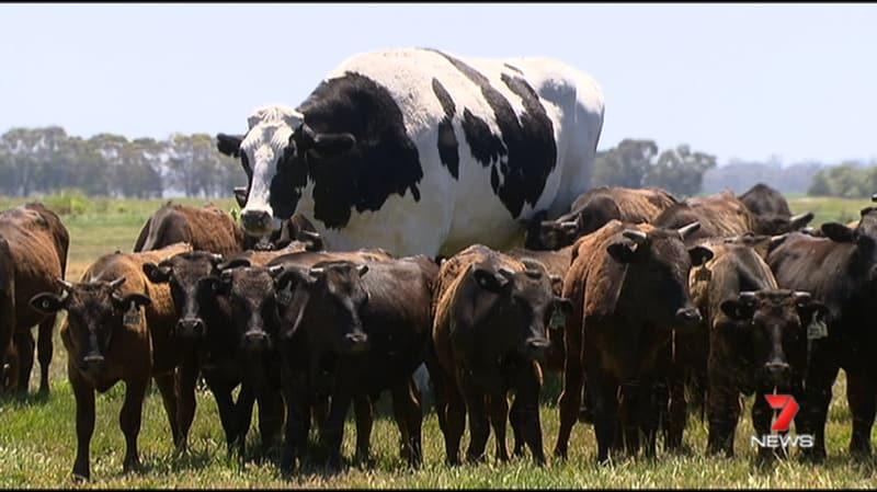 La vaca más grande del mundo y es más alta que un vegano