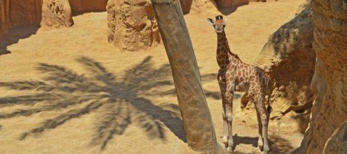 Jirafas declaradas en peligro inminente de extinción