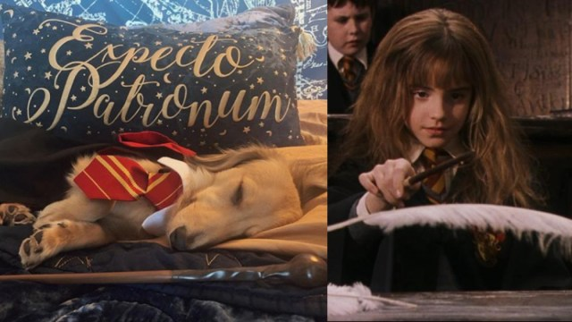 Perrito Responde A Encantamientos De Harry Potter, Perro, Perrito, Remus Perro, Anna Brisbin, Hechizos Harry Potter Con Perros