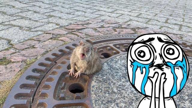 Rescatan A Rata Gorda De Coladera En Alemania, Rata, Rata Gorda, Rescatan A Rata, Bomberos, Alemania
