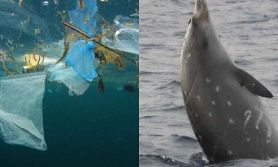 Ballena Muere Con 40 Kilos De Plástico En El Estómago, Ballena Muere, 40 Kilos Plástico, Estómago, Ballena Muerta, Filipinas