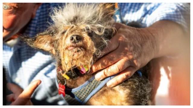 Este es el ganador del concurso de perros más feos del mundo