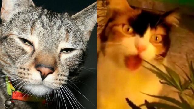 Gato llega a casa con marihuana y su dueño lo denuncia