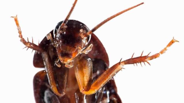 Operan con éxito a cucaracha embarazada y la esterilizan