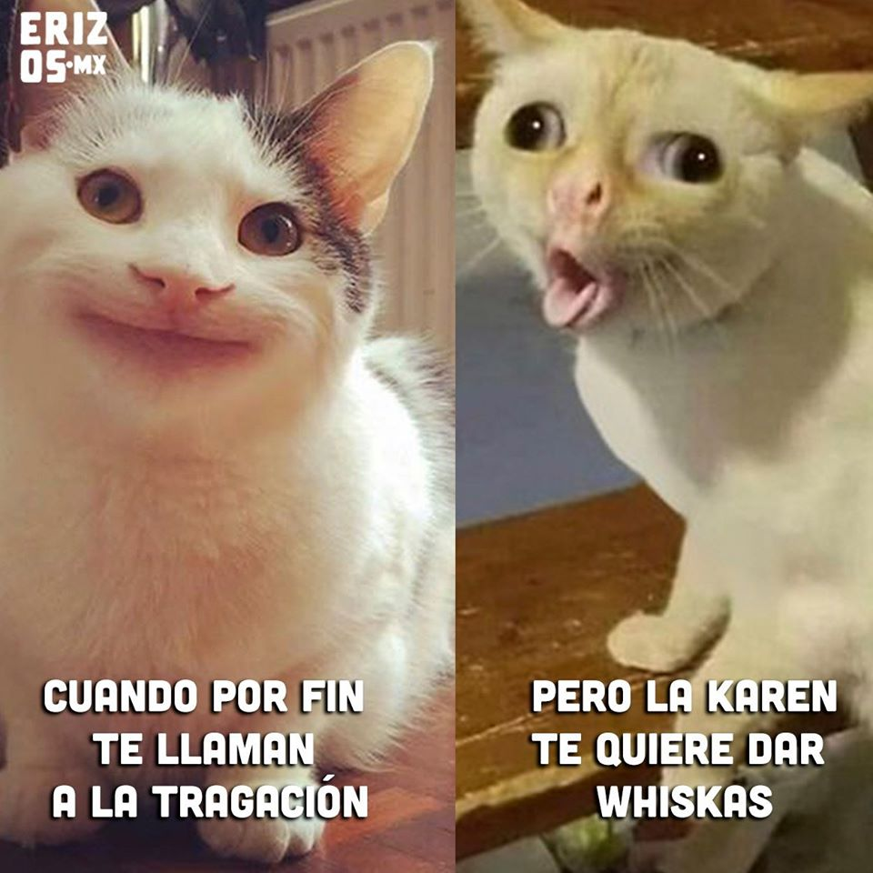 meme gatos whiskas