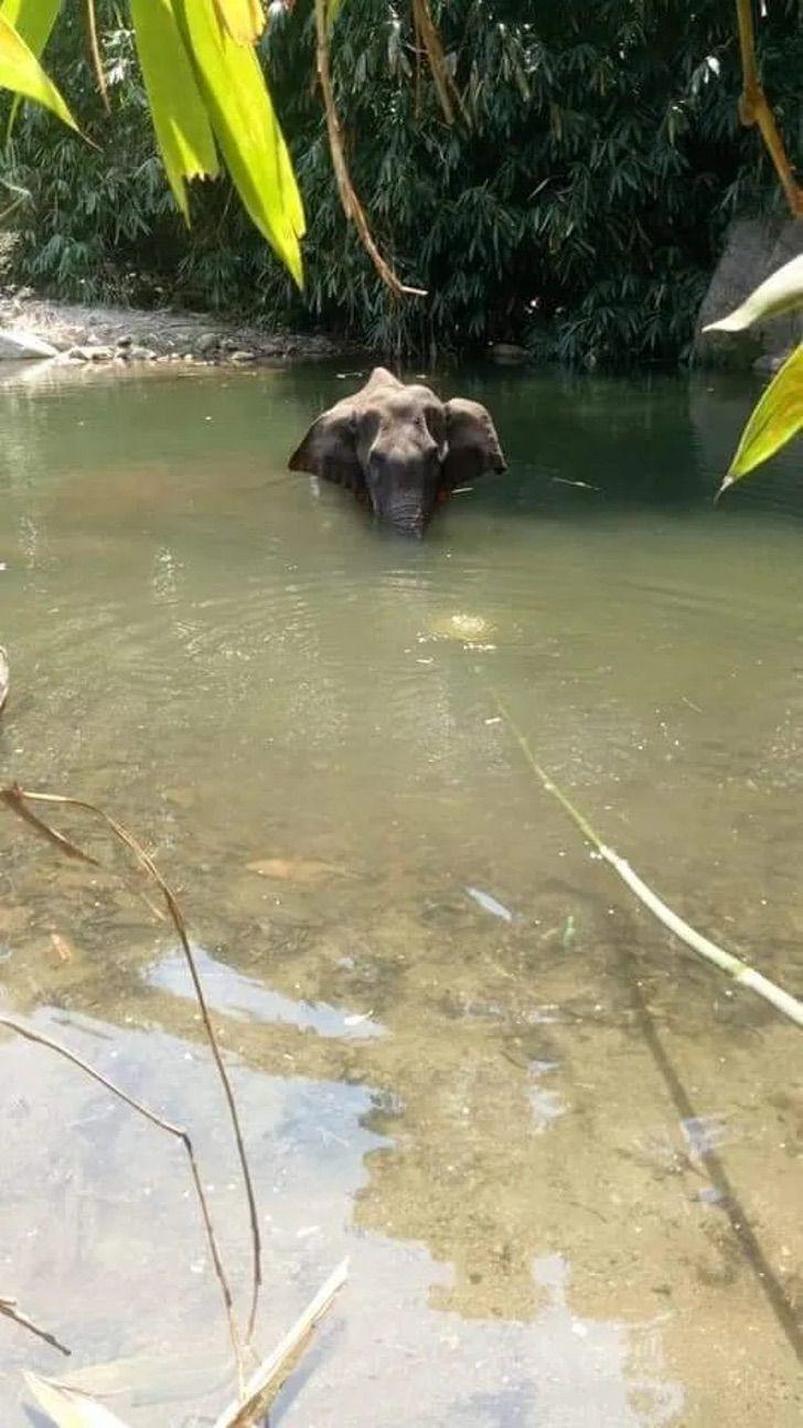 Muere elefante embarazada a la que le dieron de comer piña con explosivos