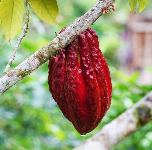 cacao chocolate podría desaparecer