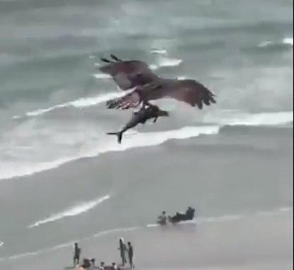 Video aguila debora a tiburón