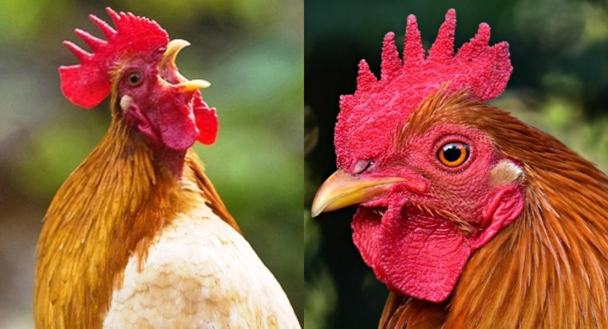 Mata a un gallo por cantar muy temprano; exigen justicia