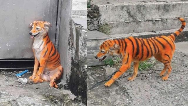 Asociación busca a un perrito que pintaron como tigre para salvarlo
