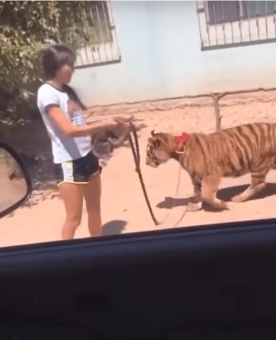 video de niña que pasea a un tigre con correa en sinaloa