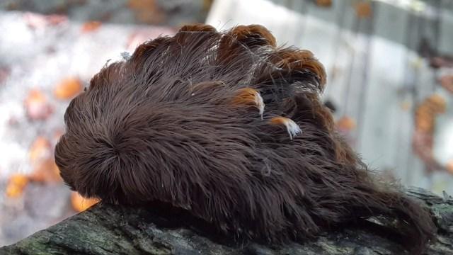 La oruga gato lanudo alerta por su aparición al ser de las más venenosas