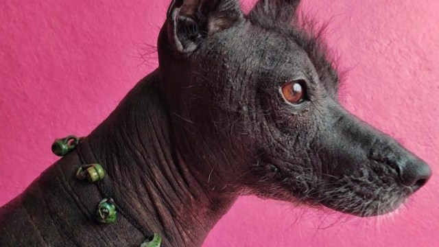 Senado aprueba que el xoloitzcuintle sea la Patrimonio Cultural de CDMX