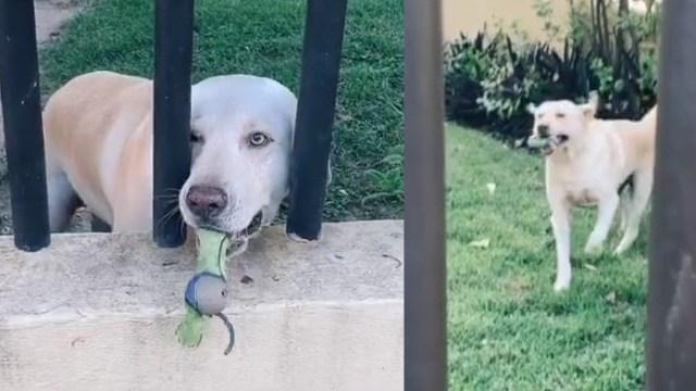 Perro avienta pelota a las personas de la calle para que jueguen con él
