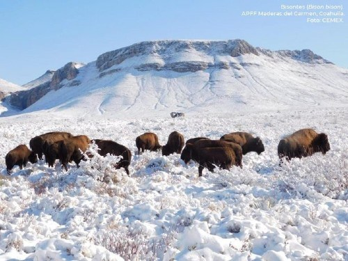 Manada de bisontes en Coahuila