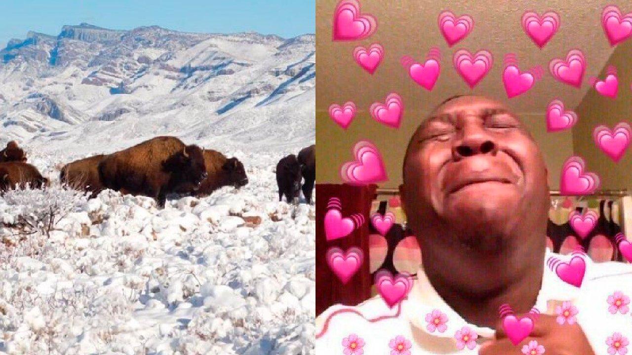 Manada bisontes en coahuila méxico