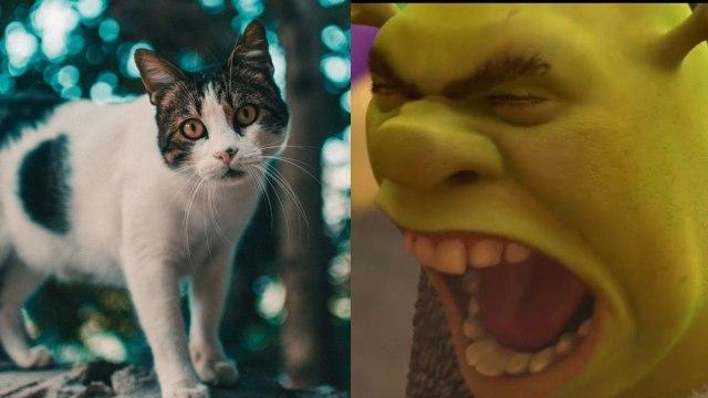 Gato y meme Shrek Wey no