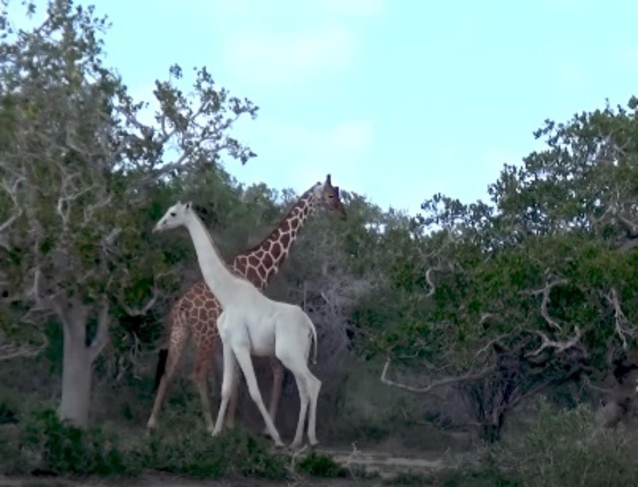 Jirafa blanca con todas las jirafas amarillas