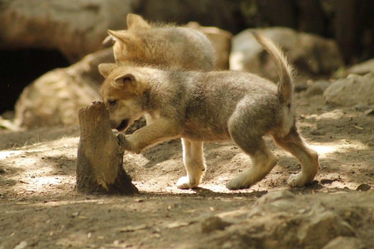 5 lobos mexicanos nacen en el zoológico de Chapultepec