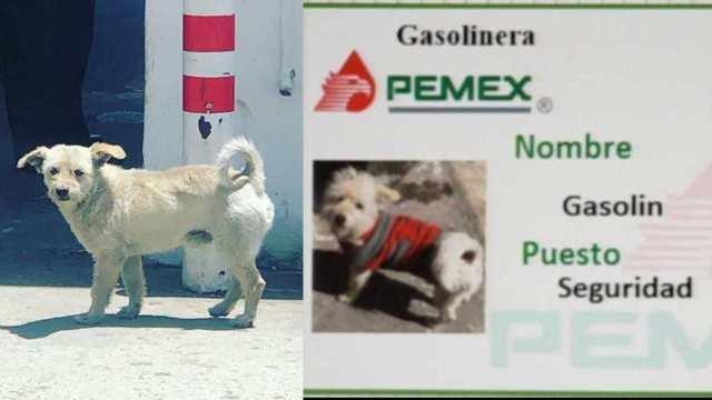 Gasolín, el perrito que se volvió viral por trabajar en una gasolinera