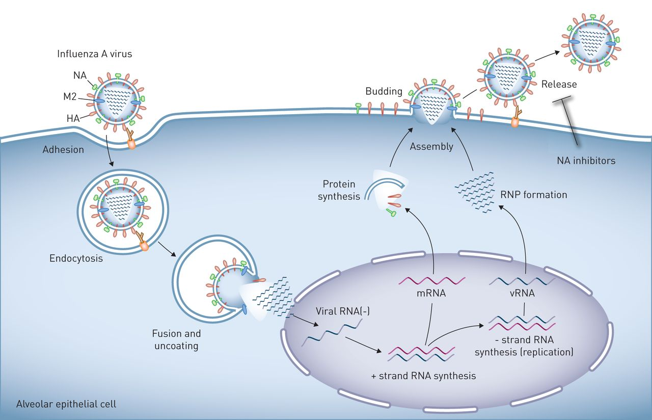 Influenza virus-induced lung injury: pathogenesis and implications for  treatment   European Respiratory Society
