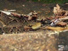 Bothrops asper (Rambala, Bocas del Toro, Panama)