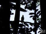 Harpia harpyja (Itacoatiara, Amazonas, Brazil)