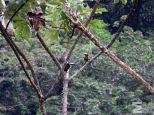 Pteroglossus torquatus (Rambala, Bocas del Toro, Panama)