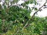 Ramphastos cuvieri (Itacoatiara, Amazonas, Brazil)