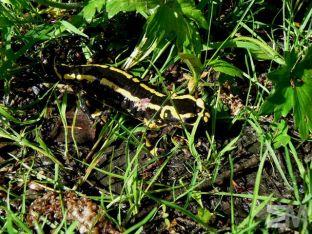 Salamandra salamandra (Belgian Ardennes, Belgium)