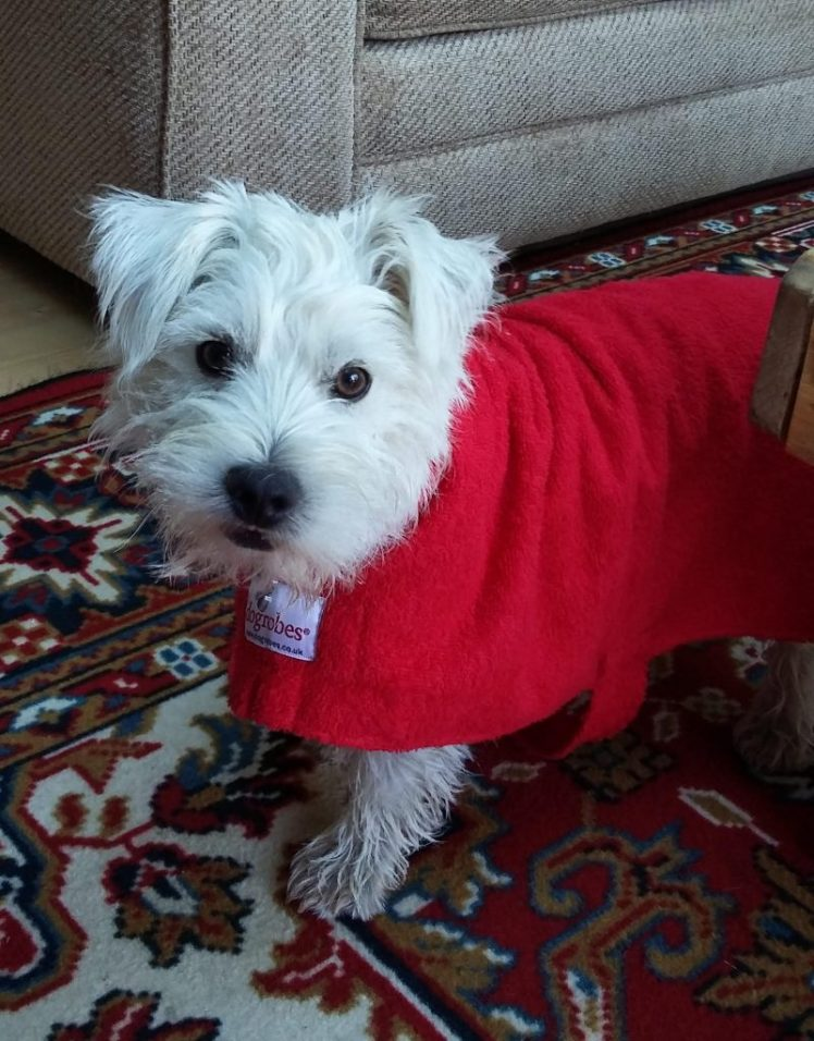 Ernie in his Dogrobes drying coat