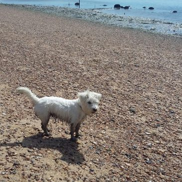 Ernie gets muddy on Monkey Beach, Mersea Island