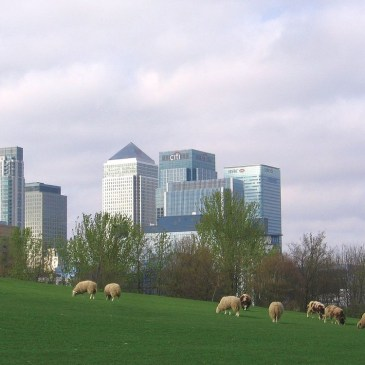 Sheep in front of Canary Wharf at Mudchute Park and Farm