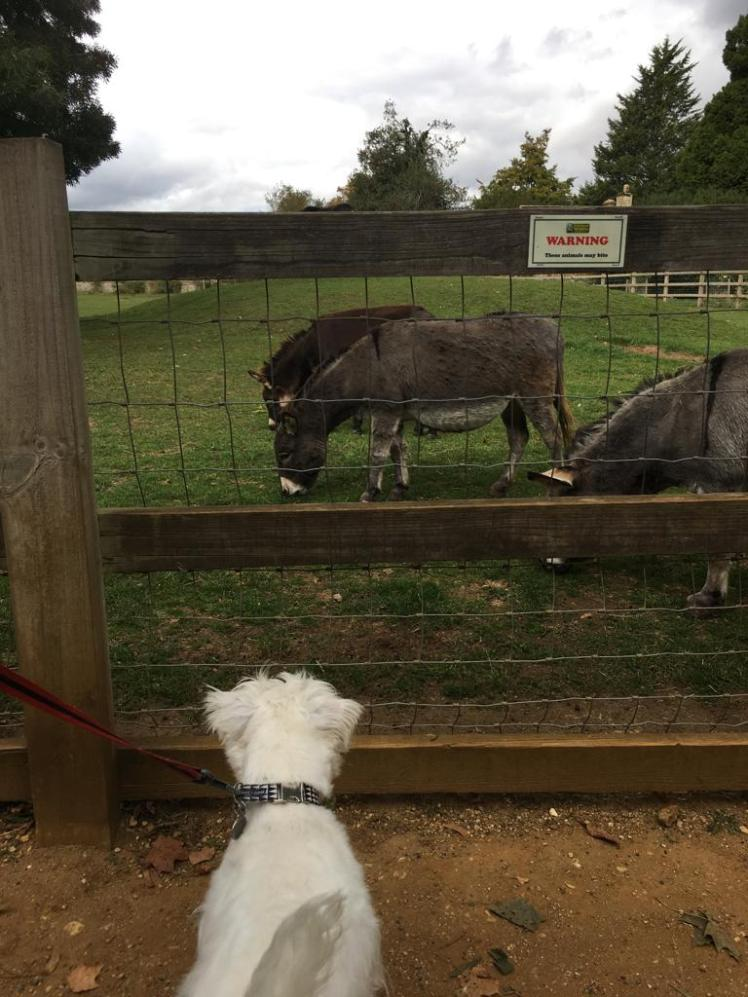 Ernie meets donkeys at Cotswold Wildlife Park