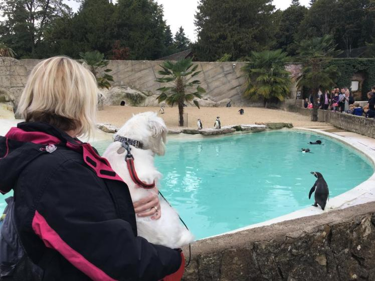Ernie watches the penguins at Cotswold Wildlife Park