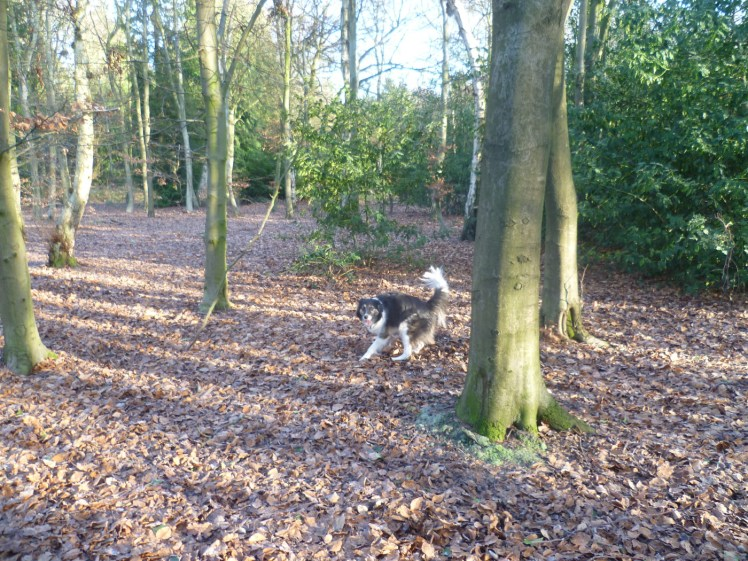 Jem the Collie at Hay Wood, Warwickshire