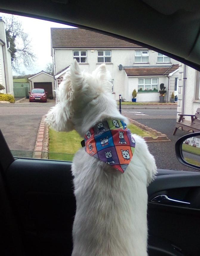 Westie looking out of car window