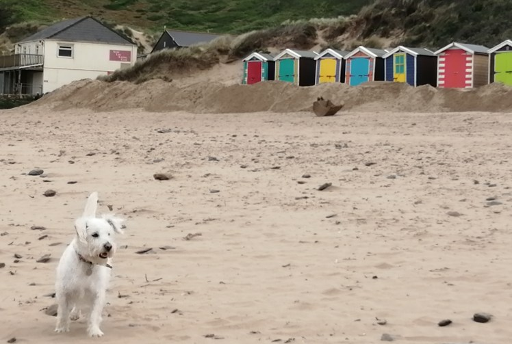 Ernie enjoys the sandy three-mile beach at Saunton Sands