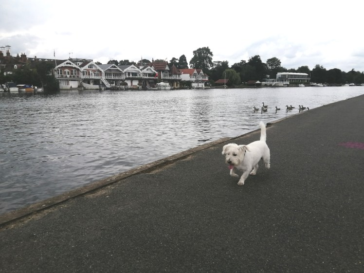 Ernie explores the Thames Path in Henley-on-Thames