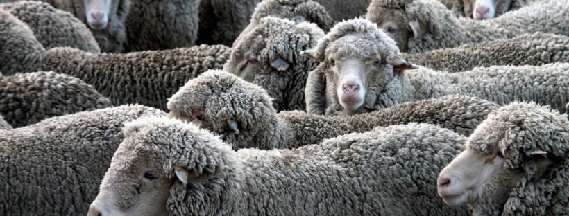 Rebaño de ovejas merinas.