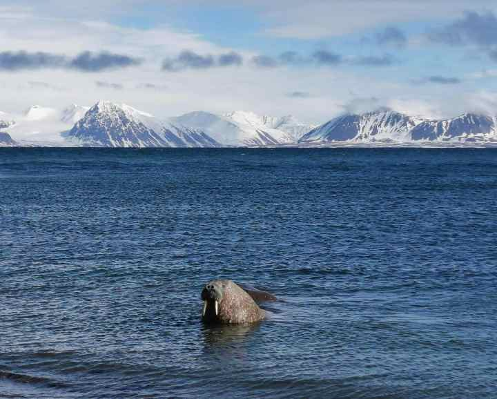 Wild walrus colony at Prins Karls Forland