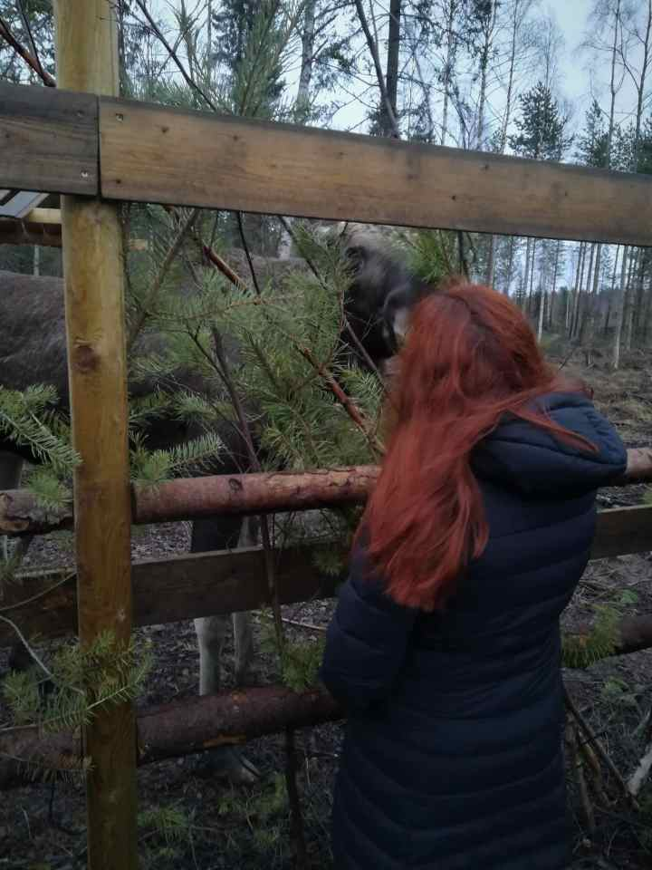 Meeting a moose at Cape Wild