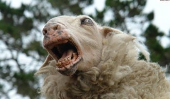 Black sheep4