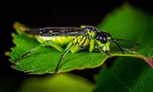 Testere sineği nedir? nerede yaşarlar? nasıl beslenirler?